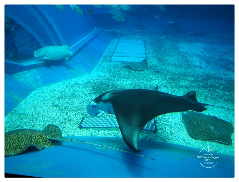 水族館,沖繩,美麗海水族館,鯨鯊,鯨鯊進食秀 @薇樂莉 Love Viaggio | 旅行.生活.攝影