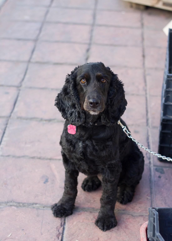 Spaniel dog in street