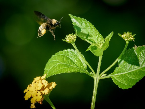 Bumblebee in flight (BIF)