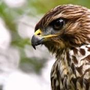 Elvis (Red-shouldered hawk)  DSC_5687.