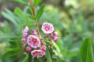 Saddleback Mountain Sheep Laurel
