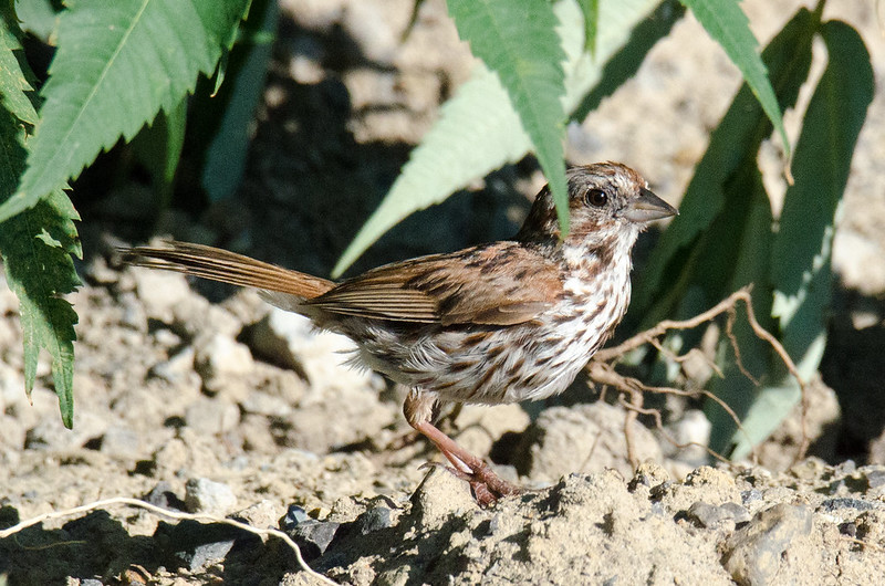 DSC_4918 Song Sparrow