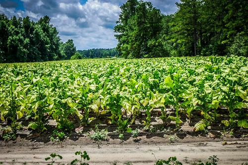 Tobacco Field-001