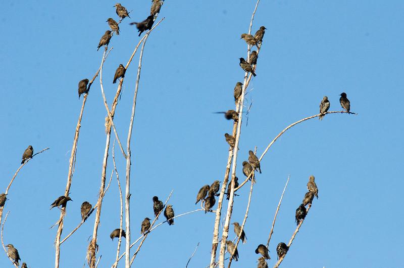 DSC_4764 European Starlings