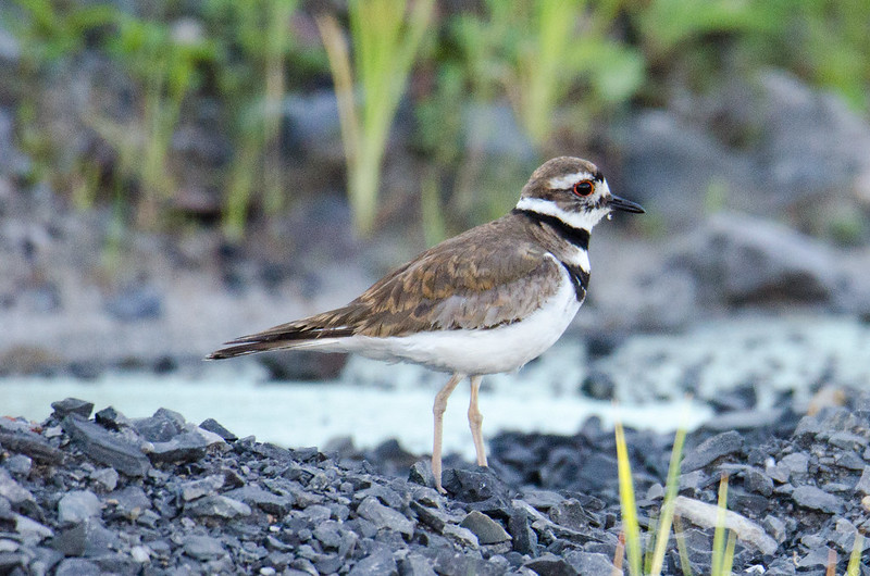 DSC_4795 Killdeer