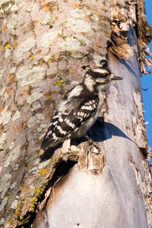 _DSC7821 Downy Woodpecker