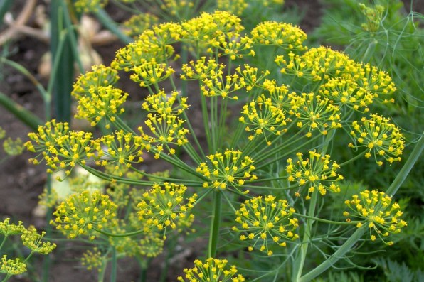 Plants that attract good bugs