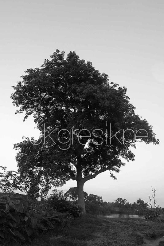 Pohon Yang Tidak Berubah Bentuknya Mulai Puluhan Tahun Yang Lalu copy