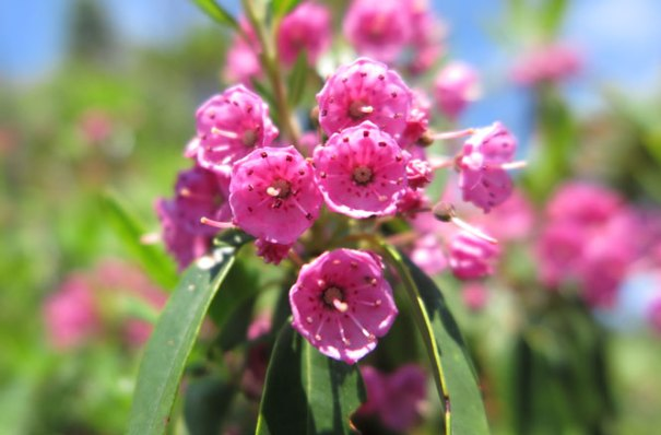Saddleback Mountain Sheep Laurel Pink
