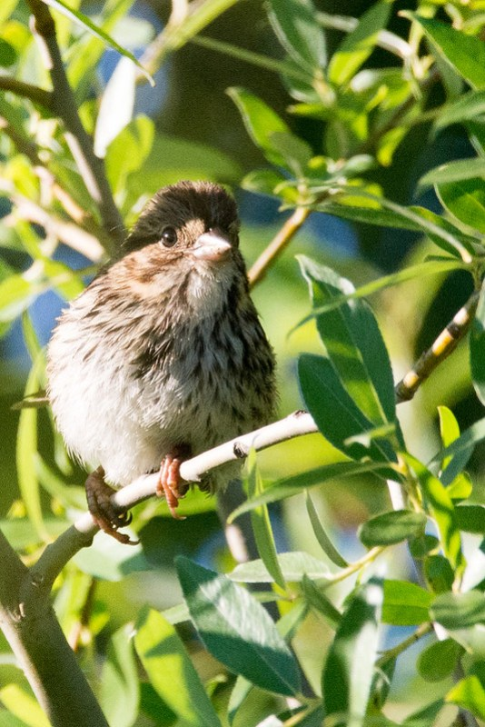 _DSC7802 Song Sparrow