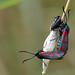 Six-spot Burnet Zygaena filipendulae stephensi Titchwell RSPB