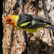 Western Tanager -- Male (Piranga ludoviciana); Santa Fe National Forest, NM, Thompson Ridge [Lou Feltz].
