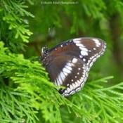 Butterfly | Photography | Nikon | Bangladesh | Photo.