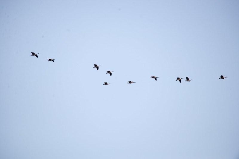 _DSC8984 Canada Goose