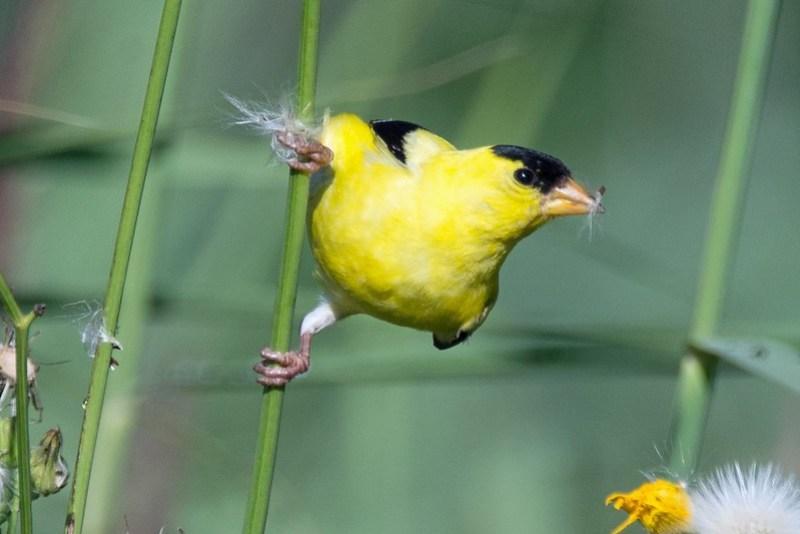 _DSC8177 American Goldfinch