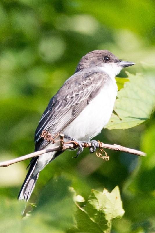 _DSC8280 Eastern Kingbird
