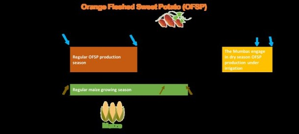 A graphic of how the Mumbas make it work from Africa RISING success story - Farmer finds a sweet spot producing orange-fleshed sweetpotato vines and roots during the dry season in Zambia.Credit: Jonathan Odhong'/IITA.