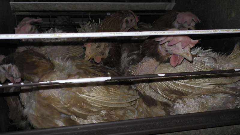 Japanese factory farming
