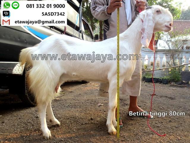 betina-80cm-20170907-32