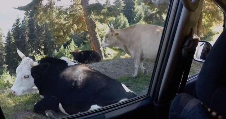 Tee on niigi kitsas, aga sinna mahtusid veel ka lehmad, kes järsul pervel peesitasid.