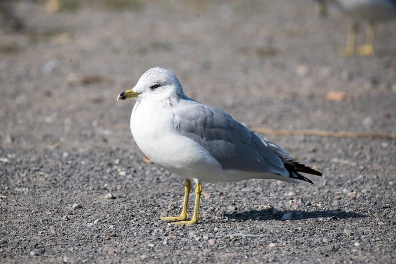 _DSC0262 Ringed-bill Gull