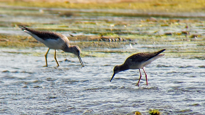 20170917_101152  Lesser and Greater Yellowlegs