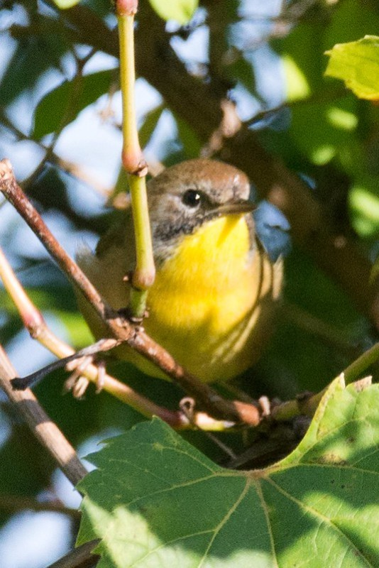 _DSC8353 Common Yellowthroat
