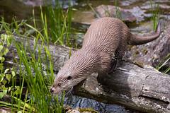 old world otter