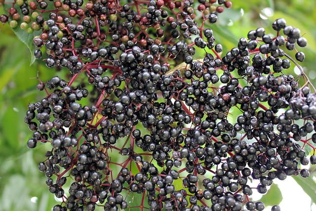 Elderberry and Blackberry Jam