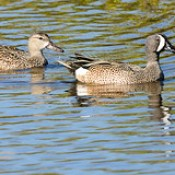 Blue-Winged Teal Couple Paddling Right at Merritt Island NWR, Florida.