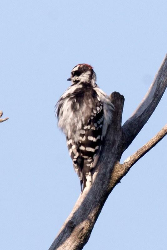 _DSC8365 Downy Woodpecker