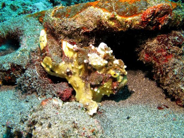 Warty Frogfish at Crystal Bay
