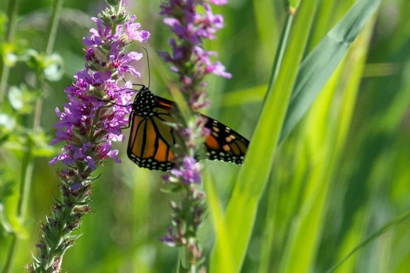 _DSC8199 Monarch butterfly