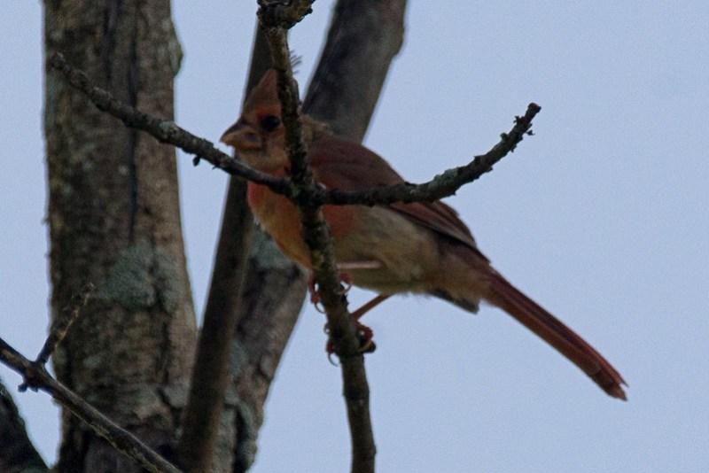 _DSC8097 Northern Cardinal
