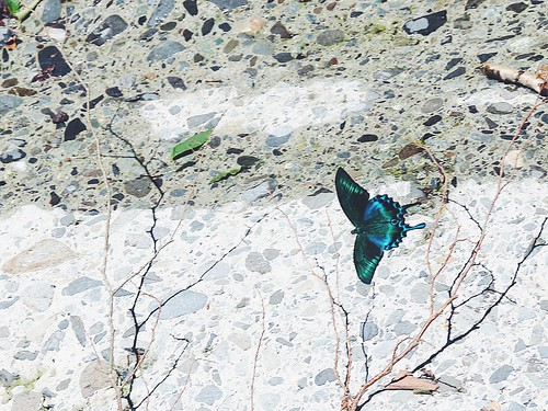 Butterfly on concrete, Osawa ravine, Mt. Fuji