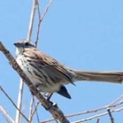 Song Sparrow (Melospiza melodia); Palmer Lake, Colorado [Lou Feltz].