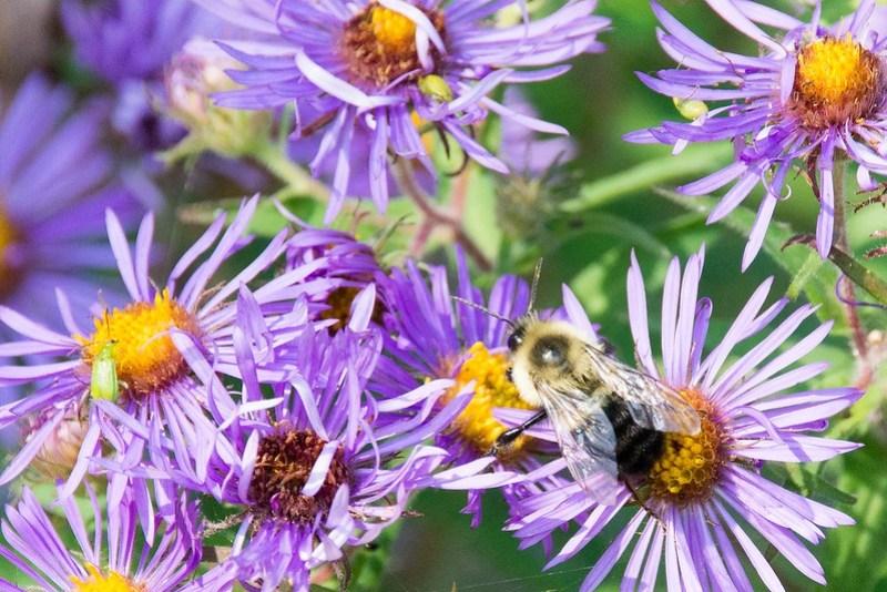 _DSC9600 Bee