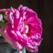 Miranda Lambert rose.
