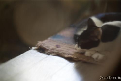 アトリエイエネコ Cat Photographer 36596699990_d02e5a5537 1日1猫! 喫茶のんのん(大阪市平野区長吉六反2丁目1−7) 1日1猫!  猫写真 猫 子猫 大阪 写真 保護猫 スマホ カメラ Kitten Cute cat