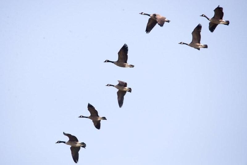 _DSC9653 Canada Geese