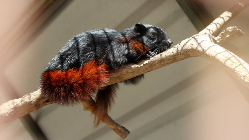 Tri-coloured squirrel