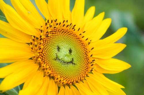 簡単かわいい!ひまわりの花に顔や文字を描く方法 / icoro