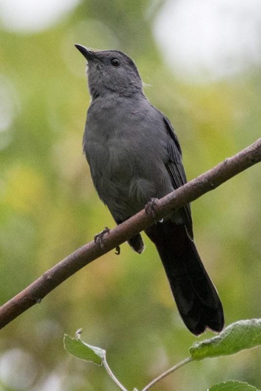 _DSC8795 Grey Catbird
