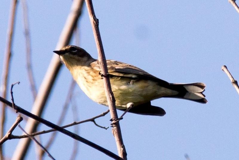 _DSC9351 Yellow rumped Warbler (Myrtle)