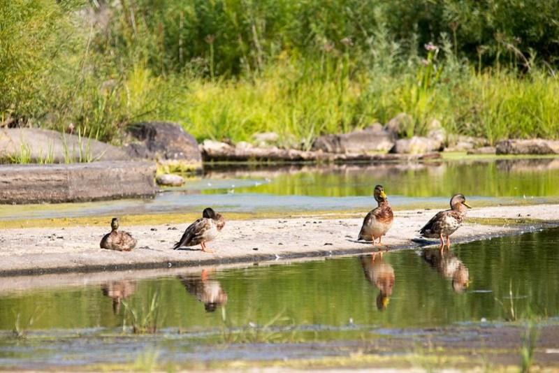 _DSC9654 Ducks