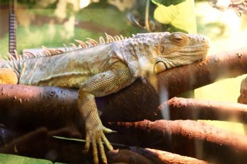 Iguana at Ponderosa Farm