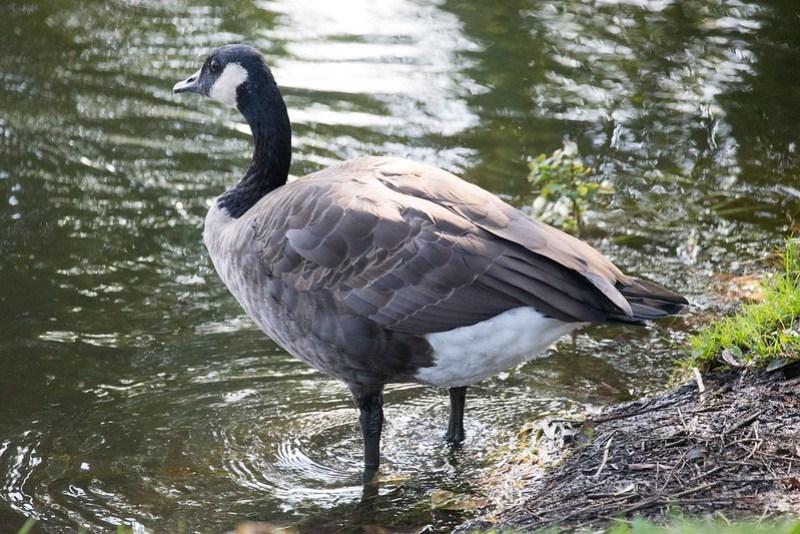 _DSC0266 Canada Goose