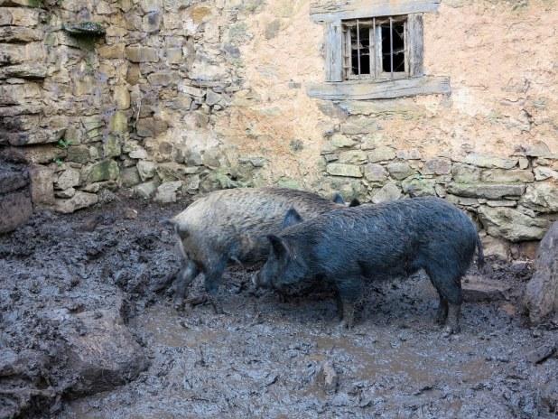 Cochinos en Cantabria