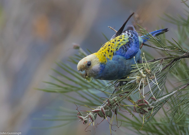 Pale-headed Rosella (Platycercus adscitus).