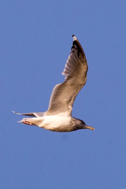 _DSC1090 Herring gull